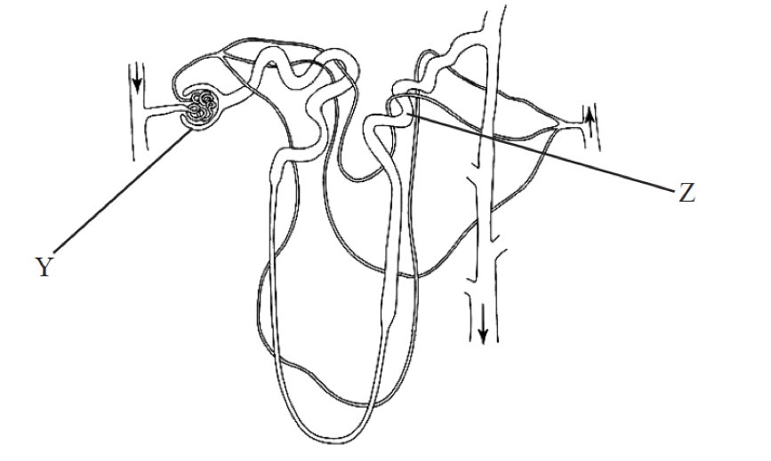 Diagram Diagram Of Nephron W Key
